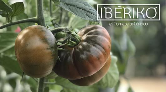 Tomate Ibériko, cultivo artesanal y sabor auténtico