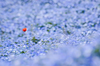 Photo: An orange flowers stands out in a sea of blue nemophilia at Hitachi Seaside Park in Ibaraki Prefecture, Japan
