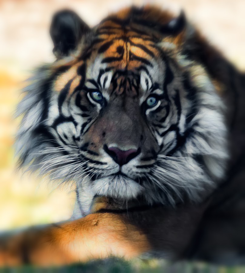 Tiger by Dave Lipchen - Digital Art Animals ( tiger )