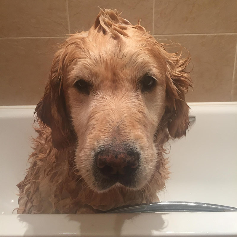 BorrowMyDoggy Golden Retriever in bath