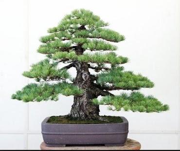 Japonské Bonsai Umění - náhled