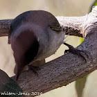 Blackcap; Curruca Capirotada
