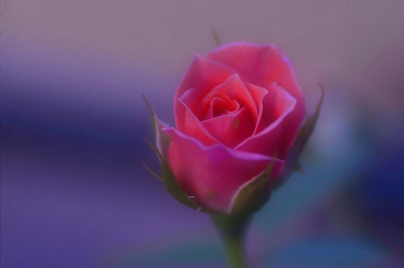 Rosa Rosae... di Yasis