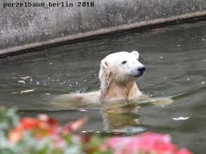Photo: Niedlicher Knut-Blick aus dem Wasser :-)