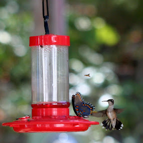 Community Feeder by Becky Patlan-Garcia - Animals Birds ( bird, butterfly, hummingbird, hummingbird feeder, spring )