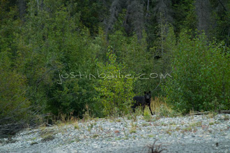 """Photo: Grey wolf as seen while on a 10 day raft trip down the Tashenshini River. The """"Tat"""" flows out of Yukon, CA, through British Columbia and empties into Glacier Bay National Park in Alaska, US."""