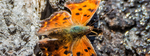 Eastern Comma (Polygonia comma), , Park Angrignon, Montreal, 2016/04/17
