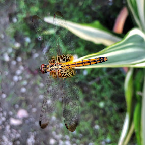 yellow dragonfly  by Mary Yeo - Animals Insects & Spiders (  )
