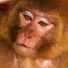 A Monkey  by Azher S Saleh - Animals Other Mammals ( animal,  )
