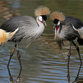 Crowned cranes by Johann Harmse - Animals Birds ( crane, nature, crowned cranes, bird, cranes, crowned crane, birds,  )