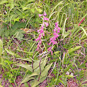 Dark-red Helleborine