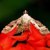 Crambid or Grass Moth