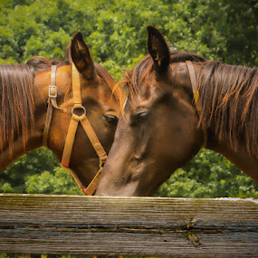 She is Taking My Picture, Not Yours by Keith-Lisa Bell Bell - Animals Horses ( brown eyes, fence, animals, horses, brown hair,  )