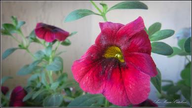 Photo: 2016.05.27 -  Petunie curgatoare (Surphinia Million bells) - din balcon - 2016.05.27 jardiniera  https://www.facebook.com/catalina.mariaana/media_set?set=a.1336910659670022.1073742444.100000533013542&type=3&hc_location=ufi