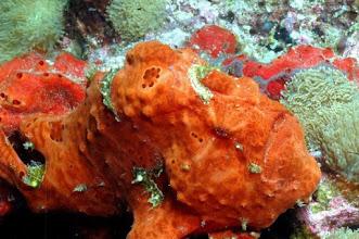 Photo: Antennaire orange aux Mergui ou Frogfish. Photo de Michel EDME
