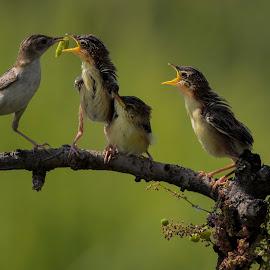 by Setiawan Halim - Animals Birds