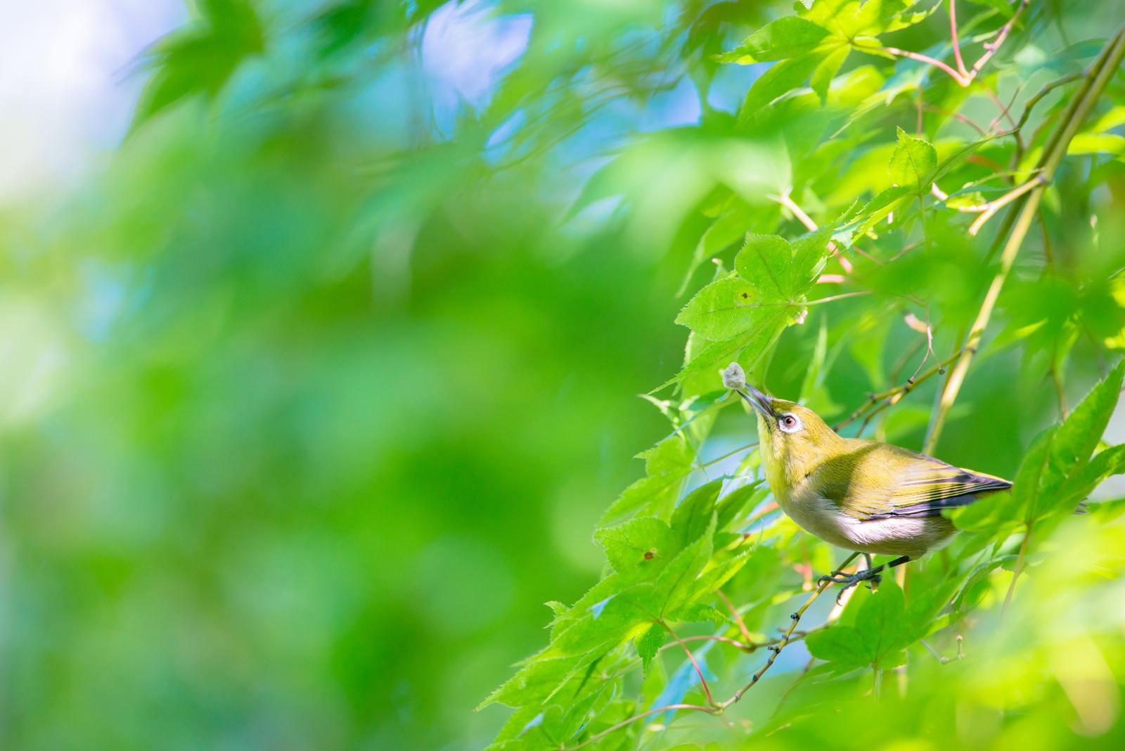 Photo: とれた! Got it!!  嬉しさいっぱいに 頭上へ掲げ 満たされること 収穫に喜ぶ  Japanese White-eye. (メジロ)  #birdphotography #birds #cooljapan #kawaii #nikon #sigma  Nikon D800E SIGMA 150-600mm F5-6.3 DG OS HSM Contemporary