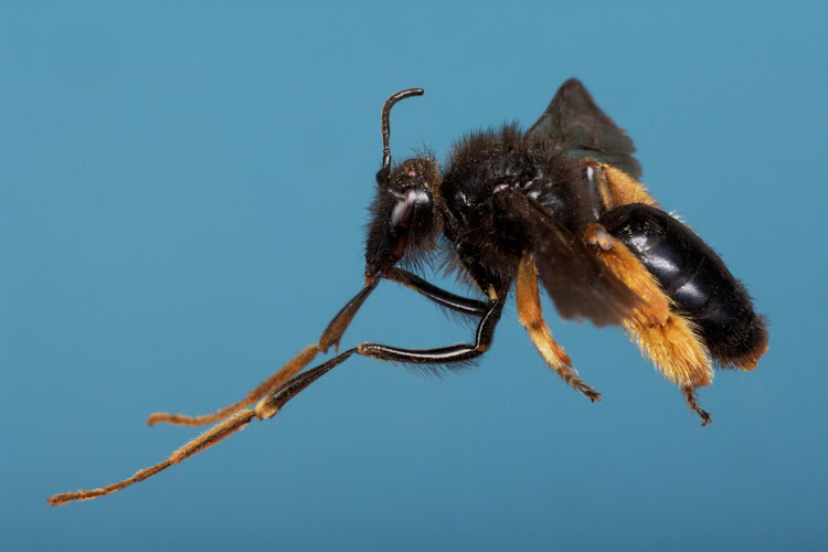The females from this species of oil-collecting bees in South Africa (Rediviva longimanus) have disproportionately long legs with dense hairs on the feet. They use the front legs to collect oil from the equally long spurs of the snapdragon flower (Diascia whiteheadii).