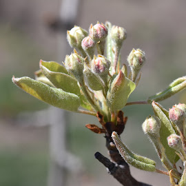 very nice flower buds by LADOCKi Elvira - Flowers Flower Buds ( garden nature plants tree blossom floral flower )