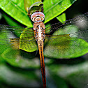 YELLOW SKIMMER