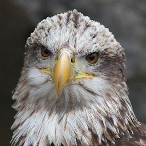 Juvenile Bald Eagle by Ken Keener - Animals Birds ( eagle, bird of prey, bald eagle, raptor, juvenile )