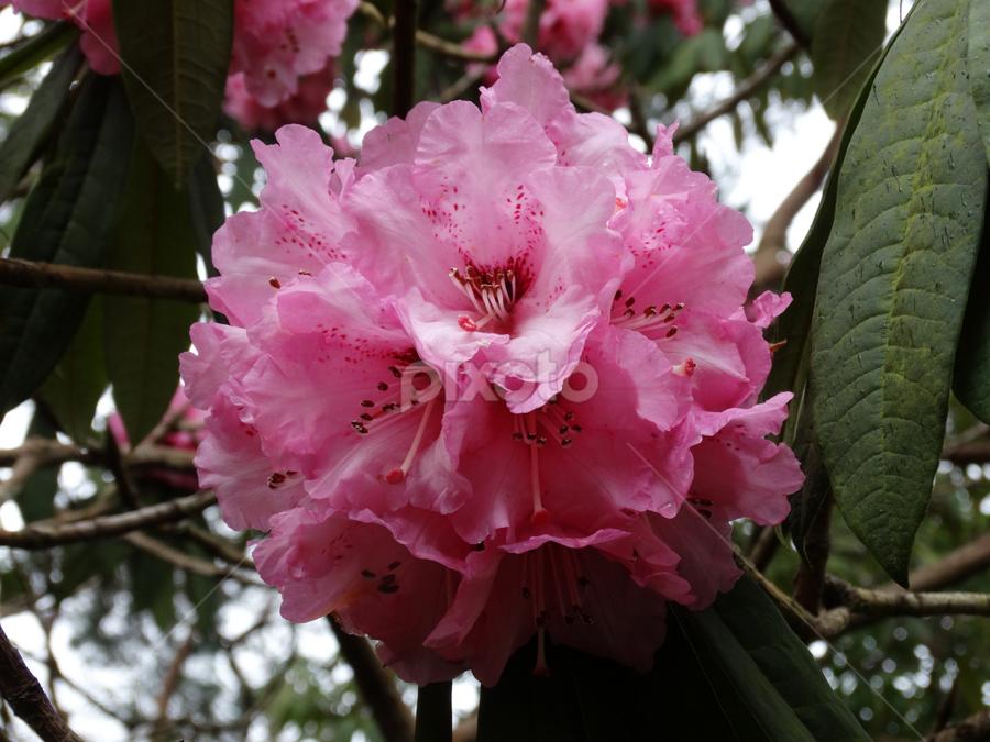 by Iain Weatherley - Flowers Flowers in the Wild ( pink flower, single flower, flower,  )