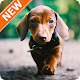 Dachshund Wallpaper HD Download for PC Windows 10/8/7