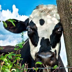 Loney Cow by Irene Orloff - Animals Other
