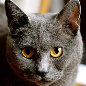 Harmonie by Serge Ostrogradsky - Animals - Cats Portraits (  )