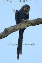 Photo: Hyacinth Macaw