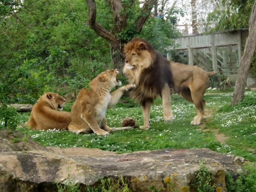 Lions, Doué la Fontaine - Tous droits réservés