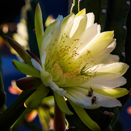 Peruvian Cactus Flower by Dave Lipchen - Flowers Single Flower ( peruvian cactus flower )