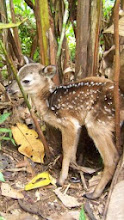 Photo: Baby Deer adopted 2/2012 by Mrs. Mulvey's Fourth Grade Class 2011-2012