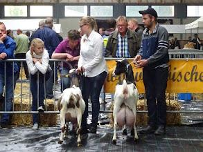 Photo: Rubriek 3: Bonte geiten geboren in 2014. 1a. Driesprong Elda 10; 2a. Zwaanheuvel Marloes 24.