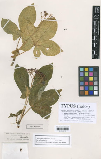 Jatropha weddelliana Baill.