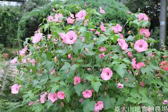 Photo: 拍攝地點: 梅峰-溫帶花卉區 拍攝植物: 花葵 拍攝日期: 2015_05_29_FY