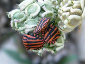 """Photo: Accouplement des """"punaises à raies"""" ou """"punaises d'Italie """"Graphosoma italicum""""- juillet -"""