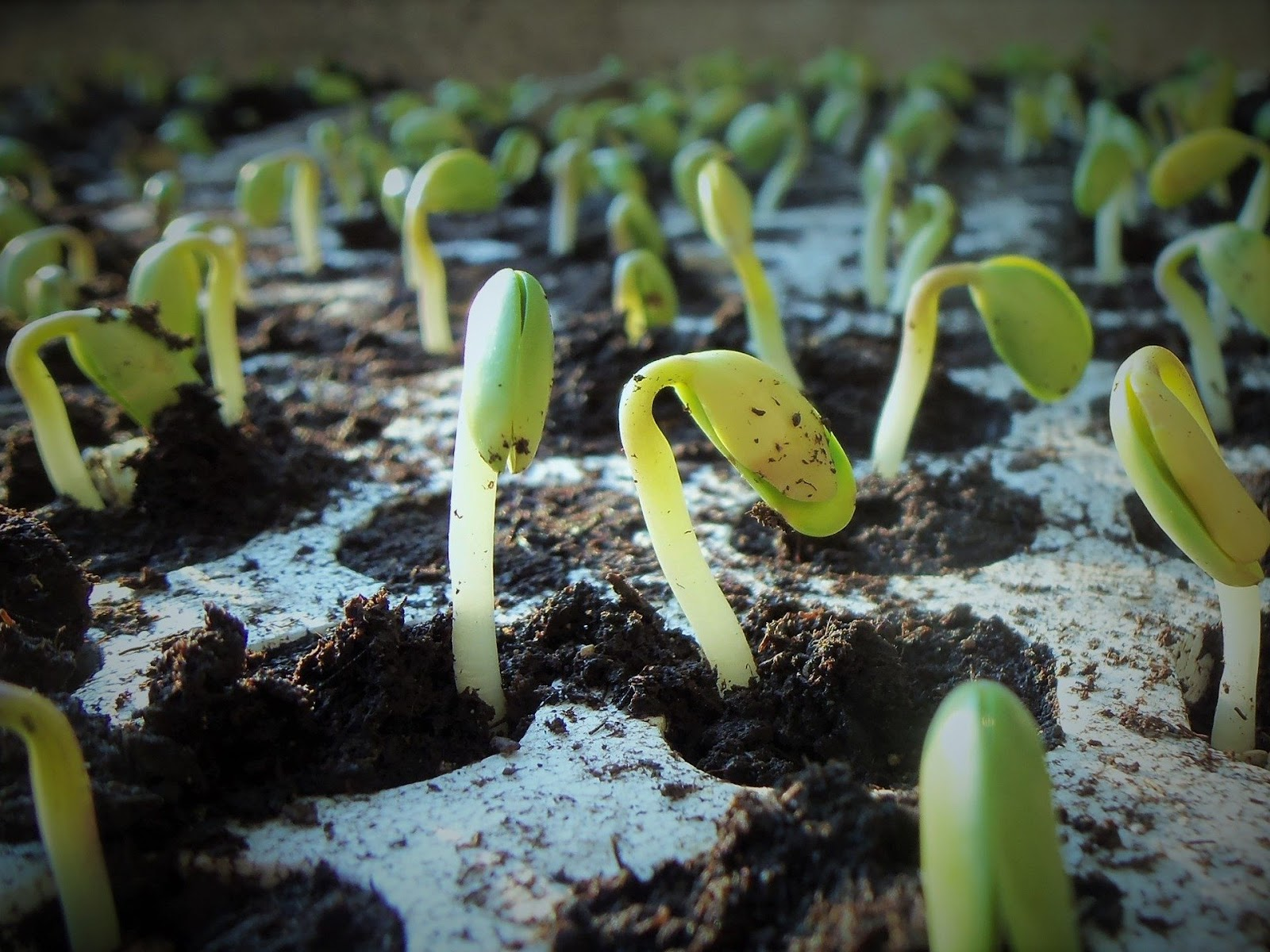 O uso de feromônios será expandido para plantio de soja e outras culturas populares. (Fonte: Pixabay)