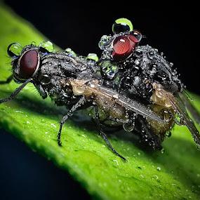 Ble'e.. by Cibo Heriansyah - Animals Insects & Spiders ( fly, mating, kawin. kewong hahahaa )