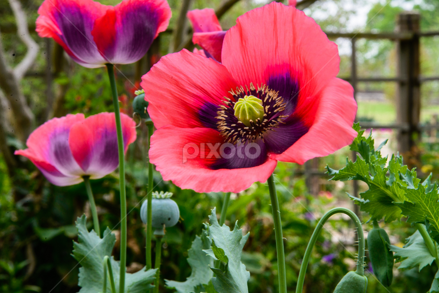 Poppies in the Garden by Judy Rosanno - Flowers Flower Gardens ( seed pos, flower garden, flower bed, bloom, poppies, bud, garden, pink poppies, botanical gardens,  )