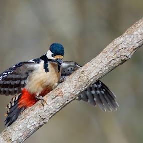 Större hackspett by Michael Pelz - Animals Birds
