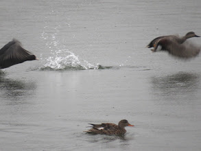Photo: Priorslee Lake A Coot sees off the drake Gadwall while the duck looks worried. (Ed Wilson)