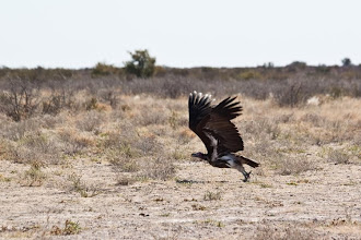 Photo: Central Kalahari NP - Vulture / Central Kalahari NP - Sup