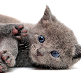 Kitten with toe beans by Josh Norem - Animals - Cats Kittens ( cats, kitten, cat, kittens, shorthair, feline, kitty )