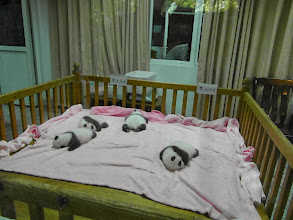 Photo: Teeny weeny baby pandas
