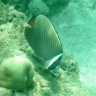 White-collared butterflyfish