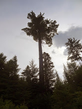 Photo: Big White Pine- 4' diameter at the base.