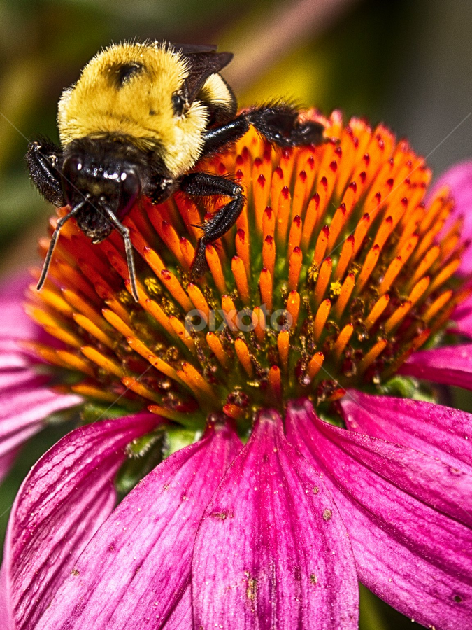 bee on cone flower by Kevin Senter - Nature Up Close Flowers - 2011-2013