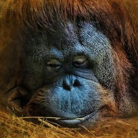 I need a hug by Vivian Gordon - Animals Other Mammals ( vigor, wild, zoo, orangutan, closeup, monkey, animal )