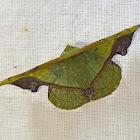 Green Fascellina